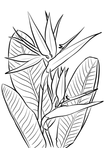 Bird of paradise clipart black and white svg transparent stock Bird of Paradise Plant coloring page | Free Printable Coloring Pages svg transparent stock