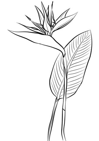 Bird of paradise clipart black and white clip free Bird of Paradise (Strelitzia Reginae) coloring page | Free Printable ... clip free
