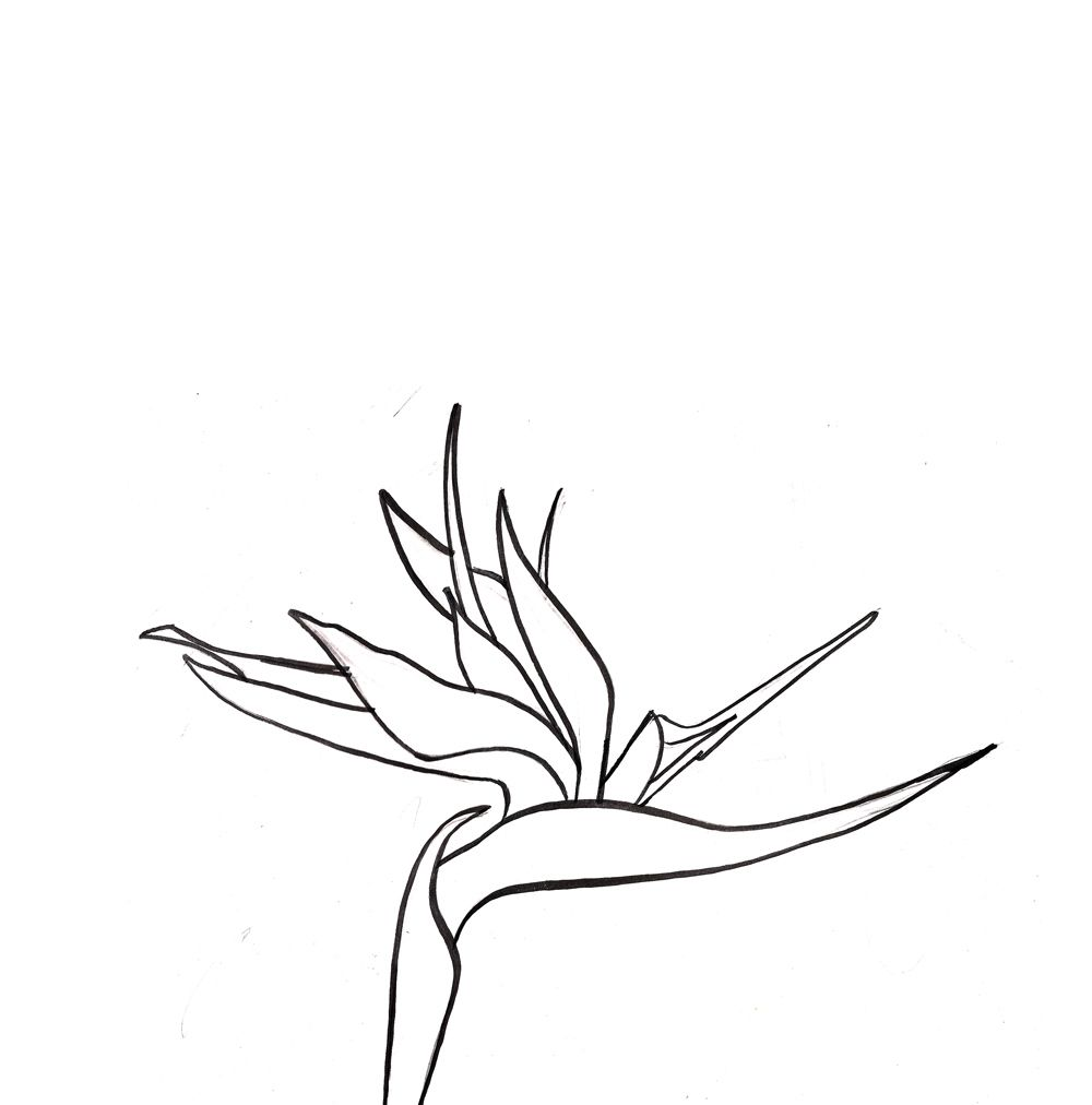 Bird of paradise clipart black and white png library library Birds pf paradise | draw2 in 2019 | Birds of paradise flower, Bird ... png library library
