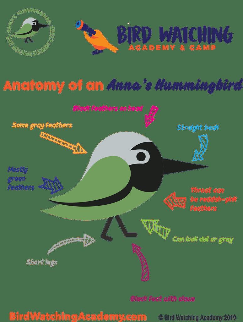 Annas Hummingbird - Bird Watching Academy clip library library