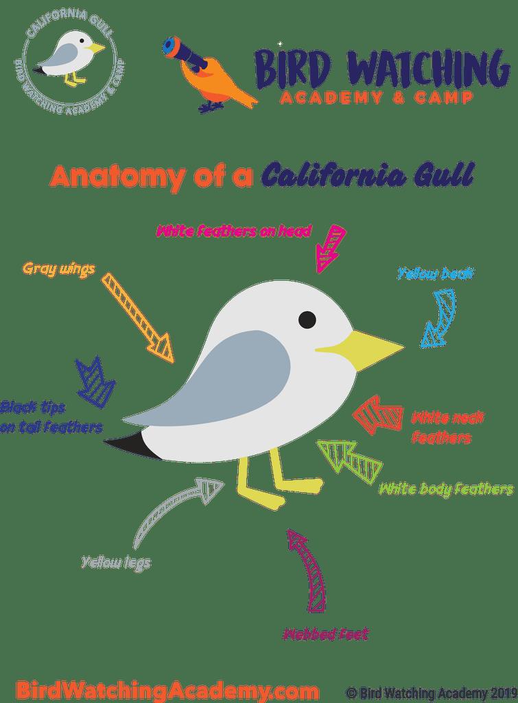California Gull - Bird Watching Academy jpg library download