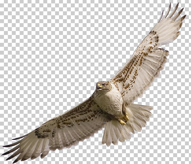 Birds of prey free clipart banner freeuse stock Hawk Bird PNG, Clipart, Accipitriformes, Animals, Beak, Bird, Bird ... banner freeuse stock