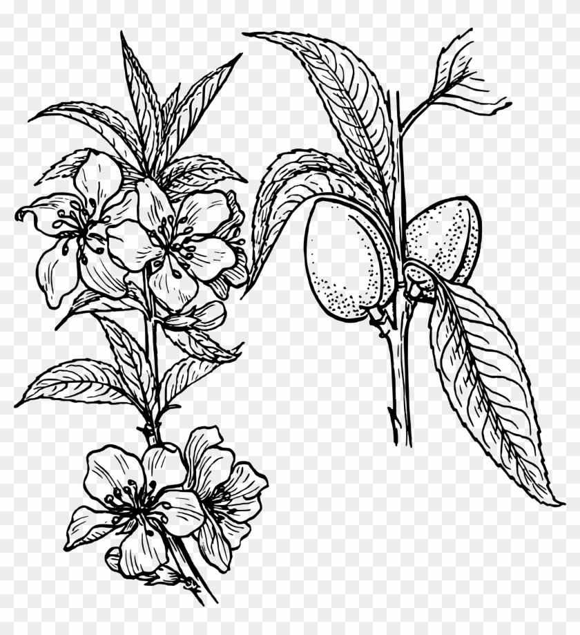 Black and white band plant clipart png clipart freeuse Almond Tree Drawing At Getdrawings Com Free - Plant Clip Art, HD Png ... clipart freeuse
