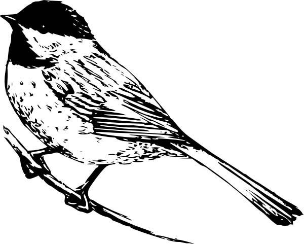 Black and white chickadee clipart clip art free stock Chickadee, : Realistic Drawing of a Chickadee Coloring Page | birds ... clip art free stock