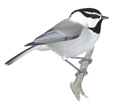Black and white chickadee clipart image Chickadee Clipart | Free download best Chickadee Clipart on ... image