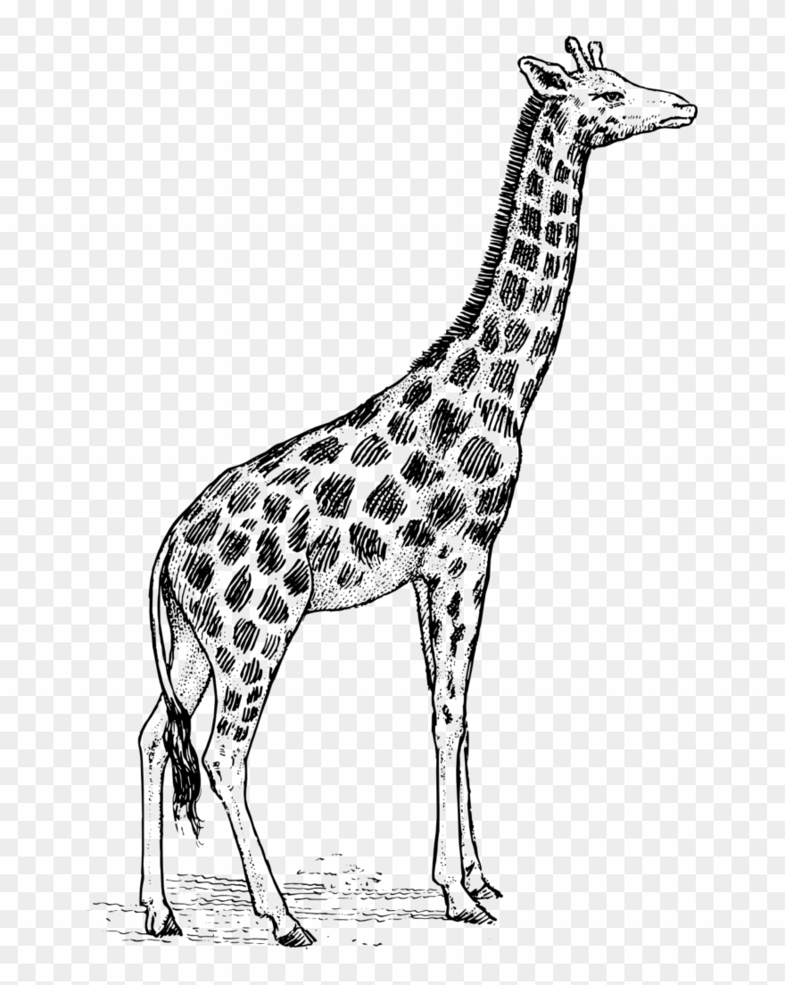 Black and white clipart giraffe banner freeuse download Giraffe Clipart Black And White - Sketch Of Giraffe - Png Download ... banner freeuse download