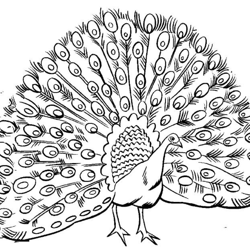 White peacock clipart jpg transparent library Peacock Drawing Black And White at PaintingValley.com | Explore ... jpg transparent library