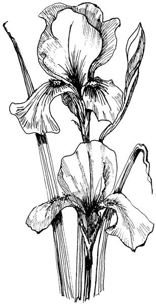 Iris clipart black and white clipart black and white stock Download bearded iris drawing outline clipart Bearded iris Drawing ... clipart black and white stock