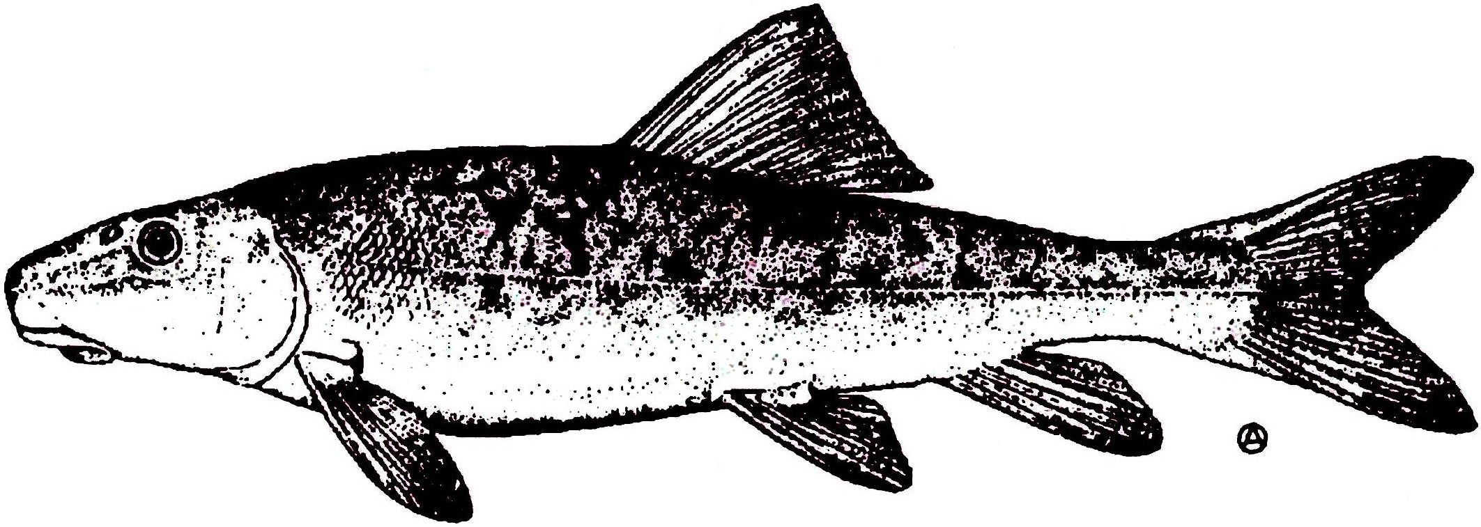 Black and white minnow clipart clipart library stock Sucker-Minnow Identification Guide | clipart library stock