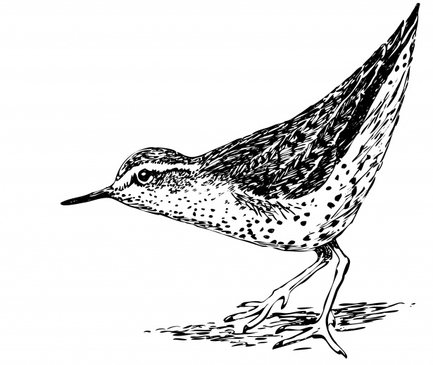 Black and white sandpiper clipart clip art library stock Bird Clipart Illustration Free Stock Photo - Public Domain Pictures clip art library stock