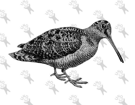 Black and white sandpiper clipart png freeuse stock Retro drawing bird Woodcock Snipe Sandpiper Instant Download Digital ... png freeuse stock