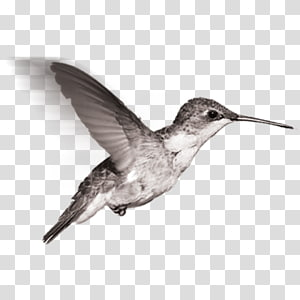 Black and white sandpiper clipart graphic royalty free stock Sandpiper transparent background PNG cliparts free download | HiClipart graphic royalty free stock