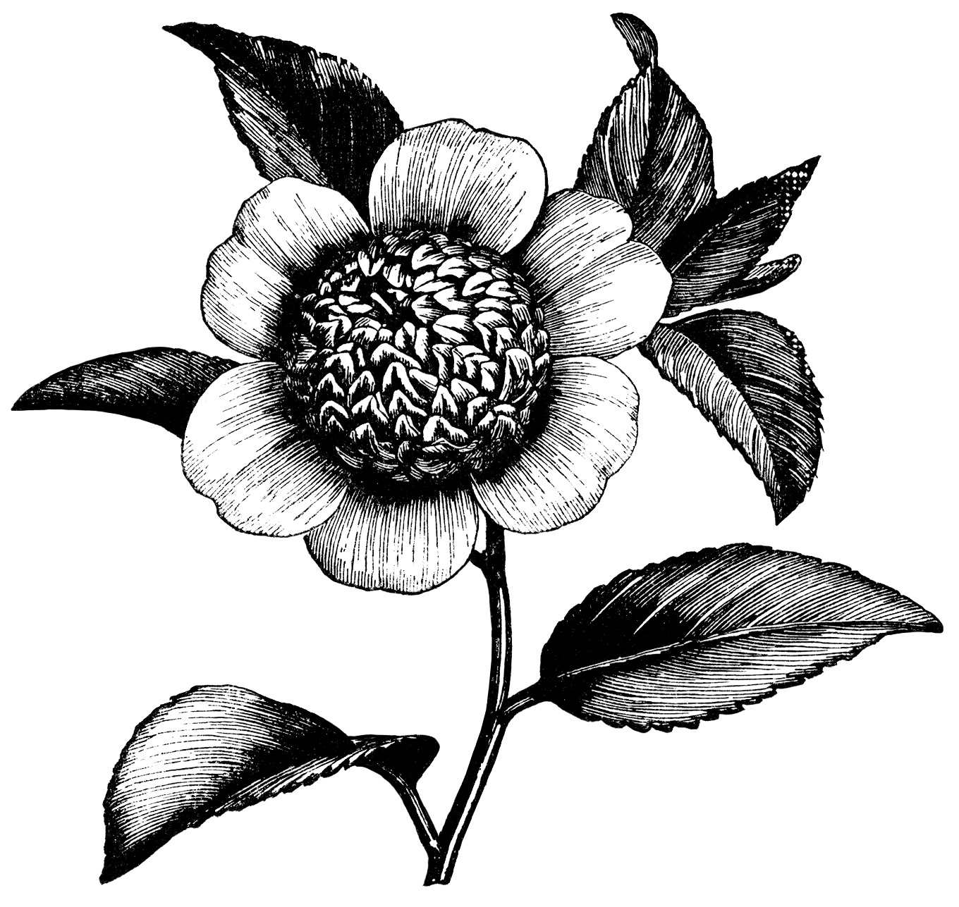 Black and white victorian clipart clip library Camellia Flower ~ Free Vintage Clip Art - Old Design Shop Blog clip library