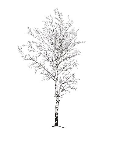 Black and white winter birch tree clipart image library stock Birch Tree Silhouette stock vectors - Clipart.me image library stock