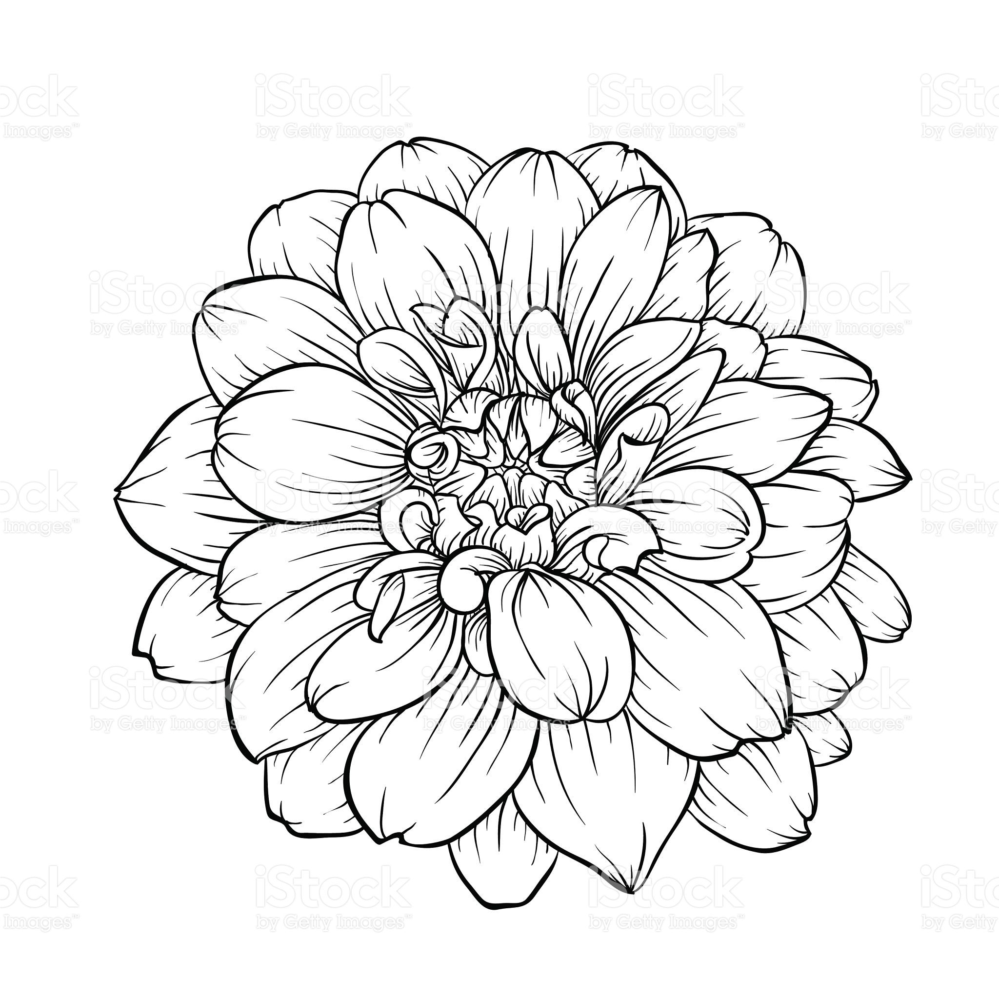 Black dahlia clipart clipart royalty free library beautiful monochrome black and white dahlia flower isolated on ... clipart royalty free library