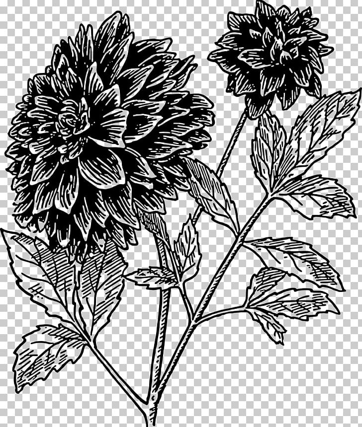 Black dahlia clipart graphic transparent download Dahlia Flower Drawing PNG, Clipart, Black And White, Chrysanths ... graphic transparent download