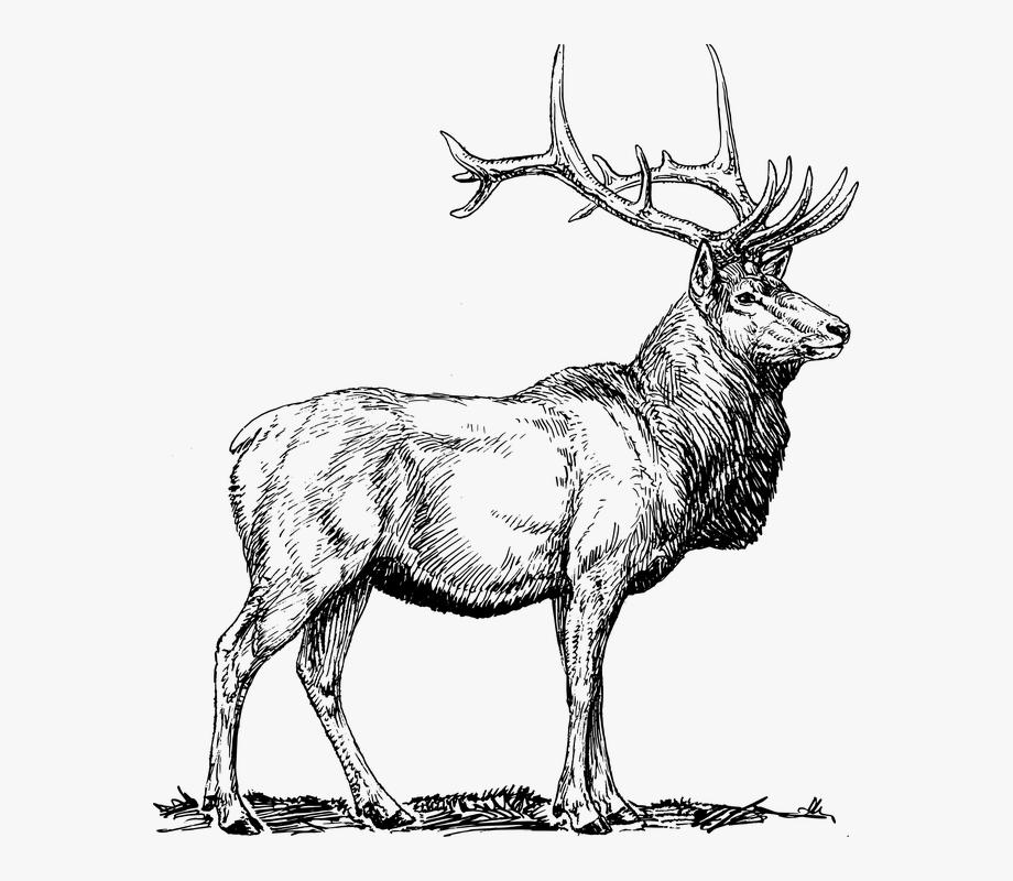 Black elk clipart clip free stock Elk, Moose, Deer, Head, Animal, Hunting, Antlers - Elk Clip Art ... clip free stock