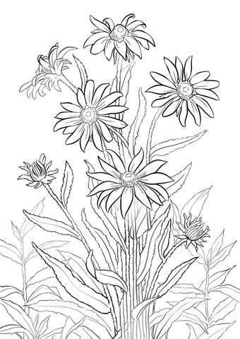 Black eyed susan clipart black and white image free download Black-eyed Susan coloring page | Free Printable Coloring Pages image free download