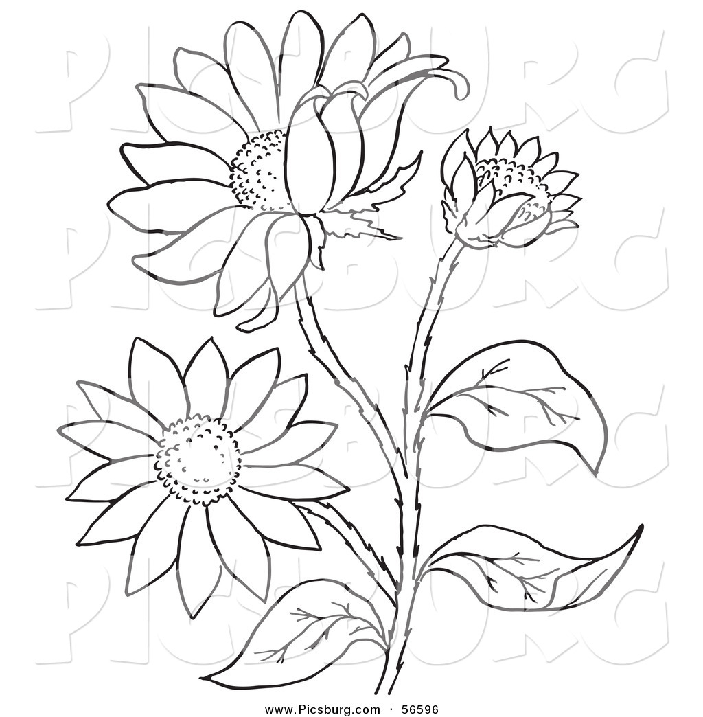 Black eyed susan clipart black and white banner Clip Art of a Coloring Page of a Black Eyed Susan Flower Plant by ... banner