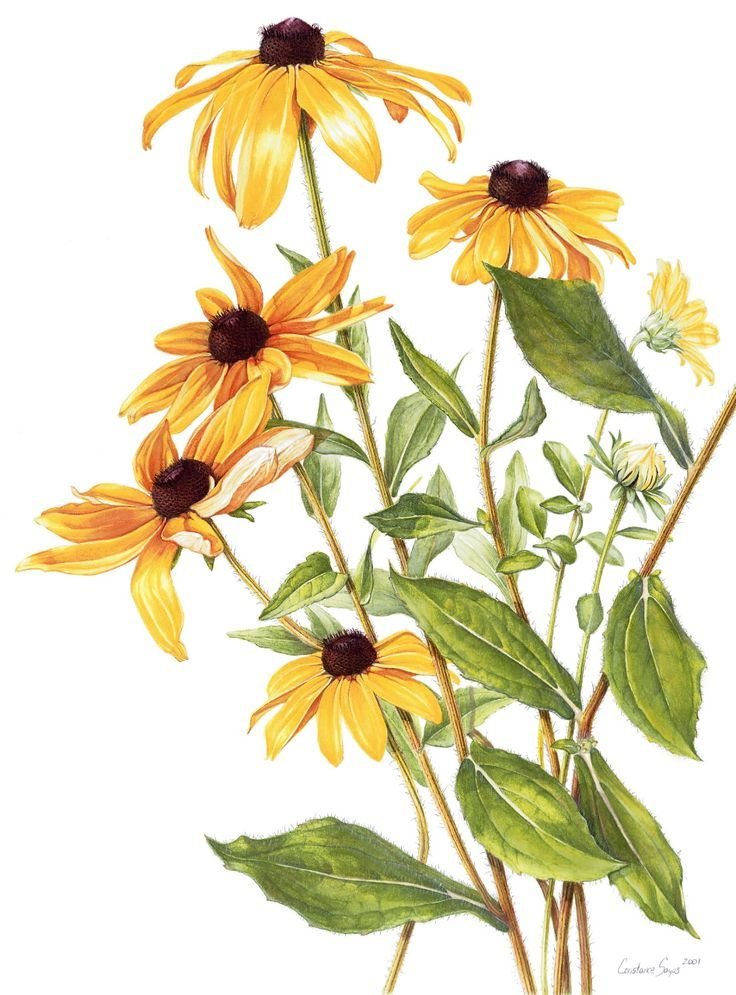 Black eyed susan clipart black and white vector library black eyed susan drawing - Google Search | Farkhanda | Botanical ... vector library