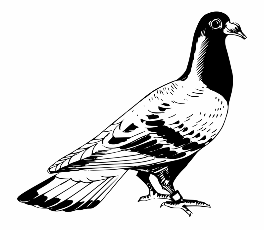 Kabutar clipart png transparent Kabutar Png Hd - Pigeon Clipart Black And White Free PNG Images ... png transparent