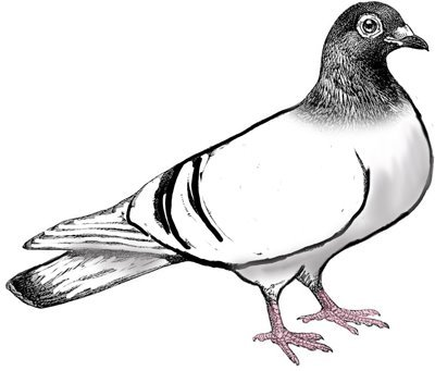 Black pigeon clipart images picture royalty free Pigeon clipart black and white 1 » Clipart Portal picture royalty free