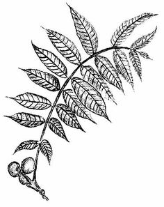 Black walnut leaf clipart black and white freeuse stock 45 Best leaf skeleton images in 2016 | Leaves, Leaf skeleton, Drawings freeuse stock
