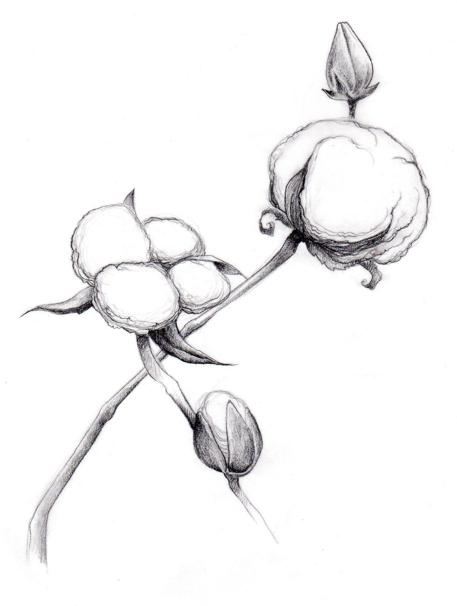 Cotton plant clipart