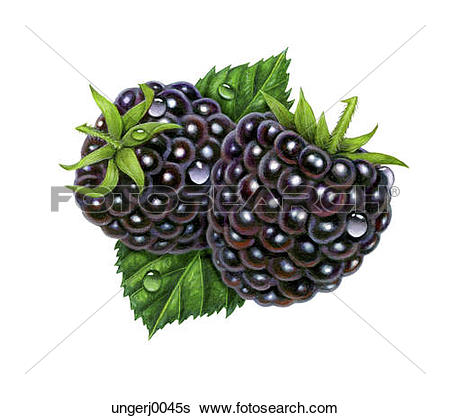 Blackberry logo clip art picture Stock Illustration of Two Juicy Blackberries ungerj0045s - Search ... picture