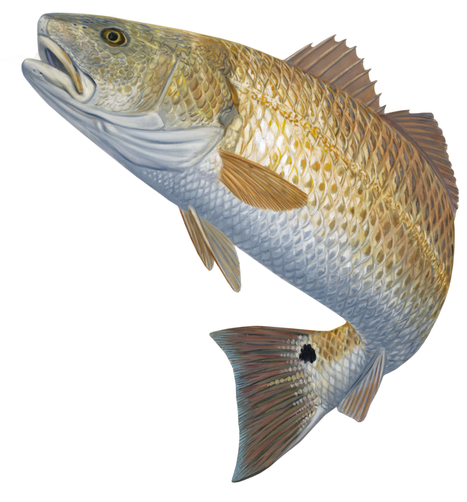Fish jumping from water clipart jpg library download Redfish Decal Red Hot | Pinterest | Skinny water and Fish jpg library download