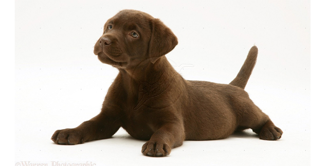 Blbrownck lab clipart png transparent stock Chocolate Labrador Puppies - Printable Pictures   Lovable Labradors png transparent stock