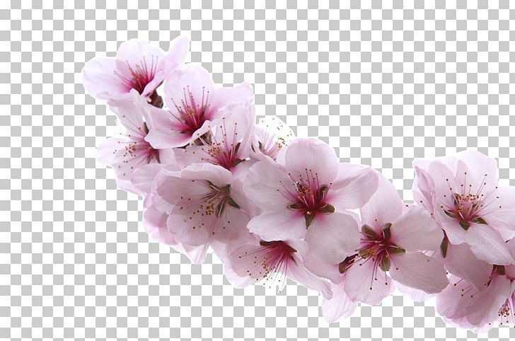 Blooming blossom clipart picture transparent download Almond Blossoms Apricot Flower Cherry PNG, Clipart, Apricot Blossom ... picture transparent download