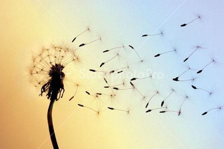Blowing away clipart picture stock Dandelion seeds blown away by wind | Haphazard | Dandelion, Blowing ... picture stock