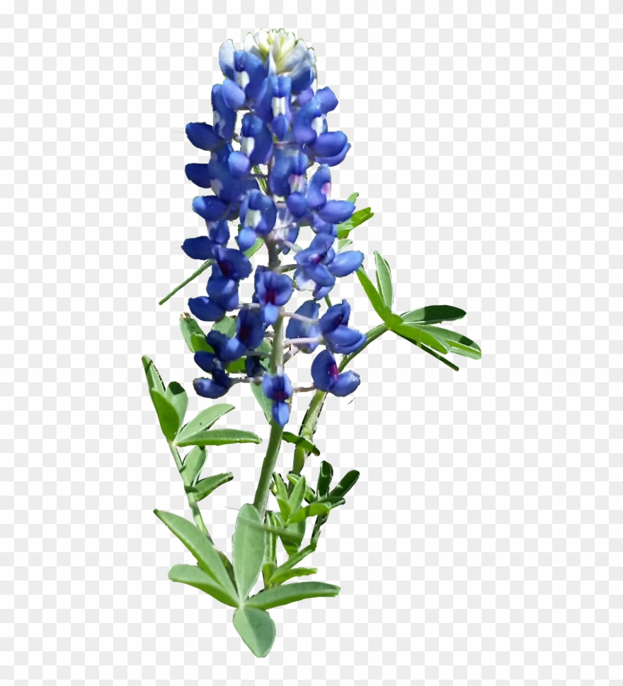 Free clipart and free downloads of bluebonnets graphic transparent stock Hd Texas Bluebonnet - Texas Bluebonnet Clipart (#4917232) - PinClipart graphic transparent stock
