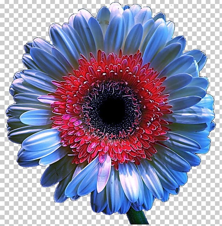 Blue chrysanthemum clipart transparent stock Transvaal Daisy Chrysanthemum Floristry Cut Flowers Cobalt Blue PNG ... transparent stock