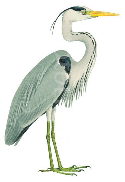 Blue heron pictures clipart png transparent stock heron illustration - Google Search | Inspiration in 2019 | Grey ... png transparent stock