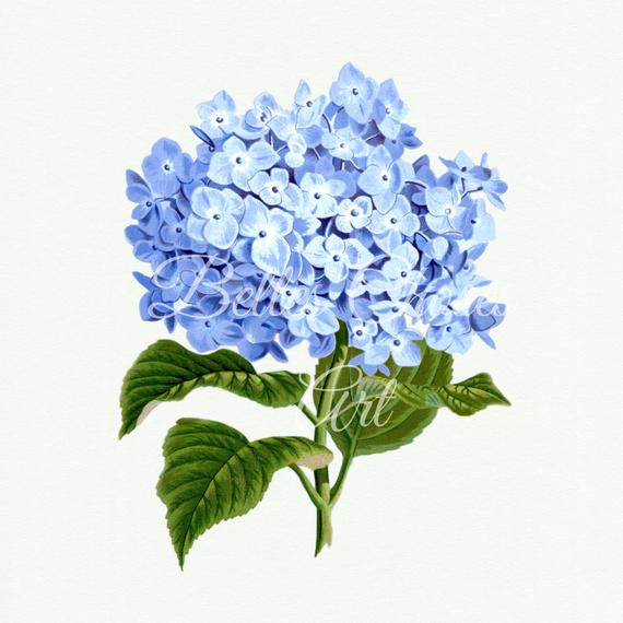 Blue hydrangea clipart free picture black and white library Hydrangea Print, Hydrangea Digital Flower, Hydrangea Clip Art ... picture black and white library