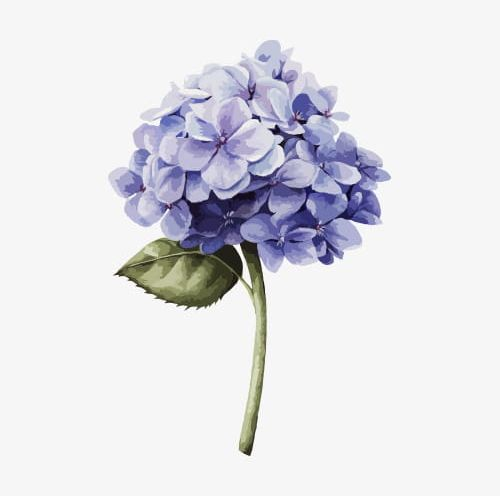 Blue hydrangea clipart free free library Hand Drawn Hydrangea PNG, Clipart, A Flower, Blue, Blue Hydrangea ... free library