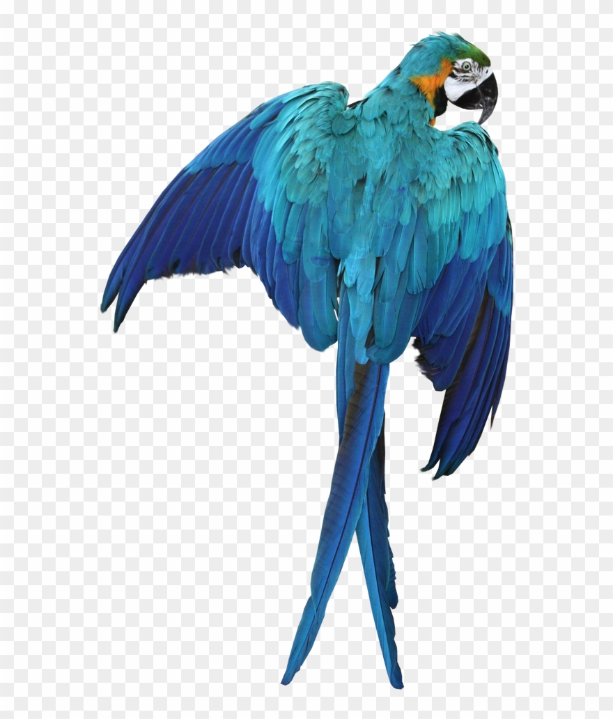 Blue macaw clipart graphic black and white library Macaw Png Transparent Images - Blue Macaw No Background Clipart ... graphic black and white library