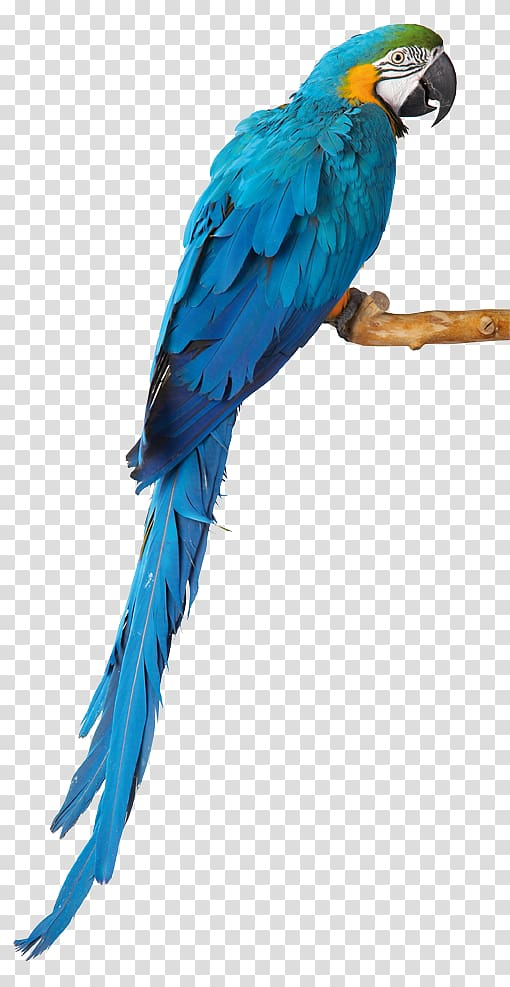 Blue macaw clipart graphic royalty free library Blue-and-yellow macaw, Budgerigar Parrot Macaw Lovebird Parakeet ... graphic royalty free library