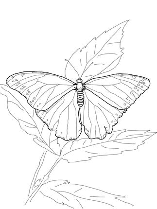 Blue morpho butterfly clipart black and white transparent library Click to see printable version of Blue Morpho Butterfly coloring ... transparent library