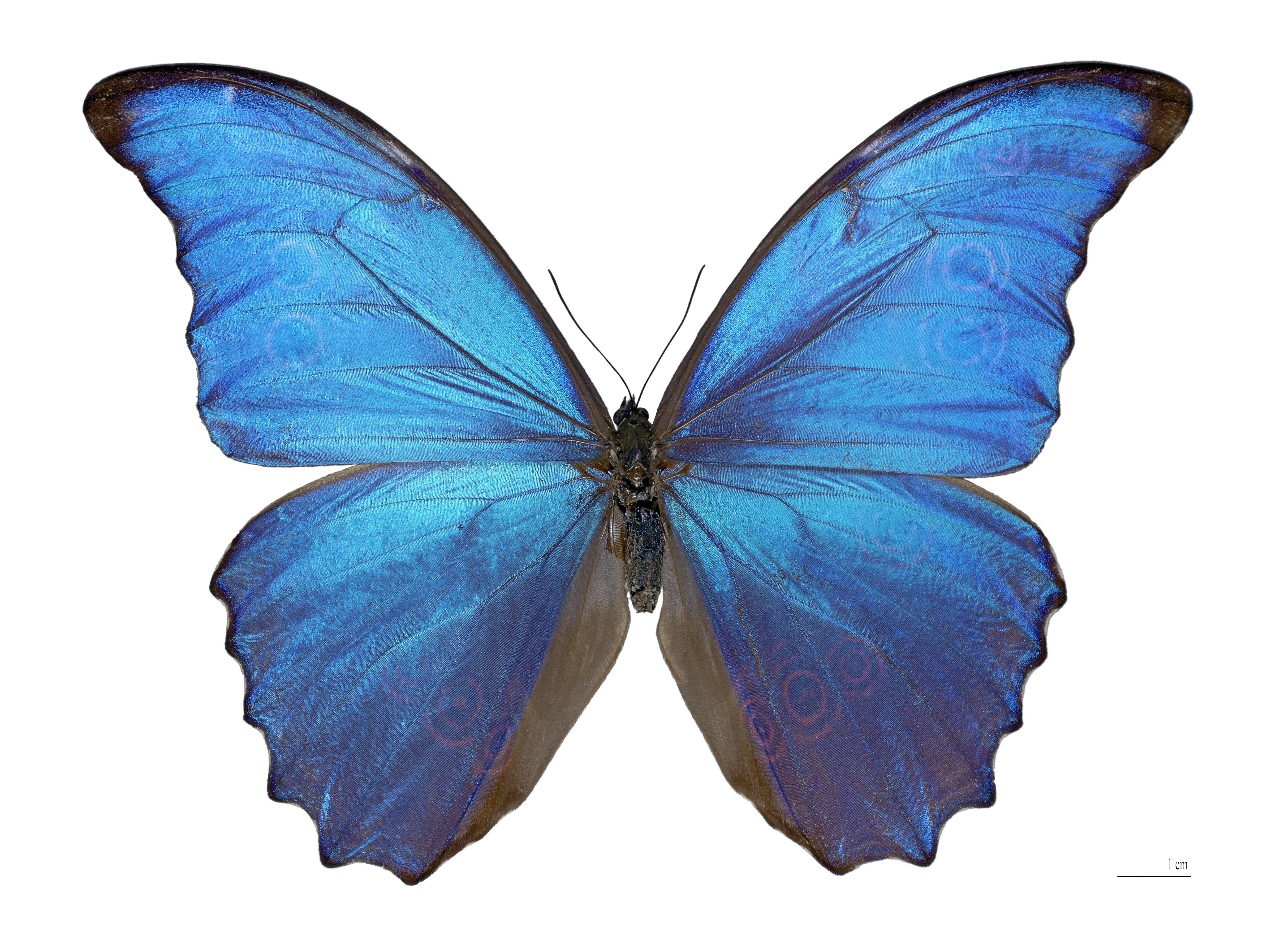 Blue morpho butterfly clipart black and white graphic library stock Morpho - Wikipedia graphic library stock