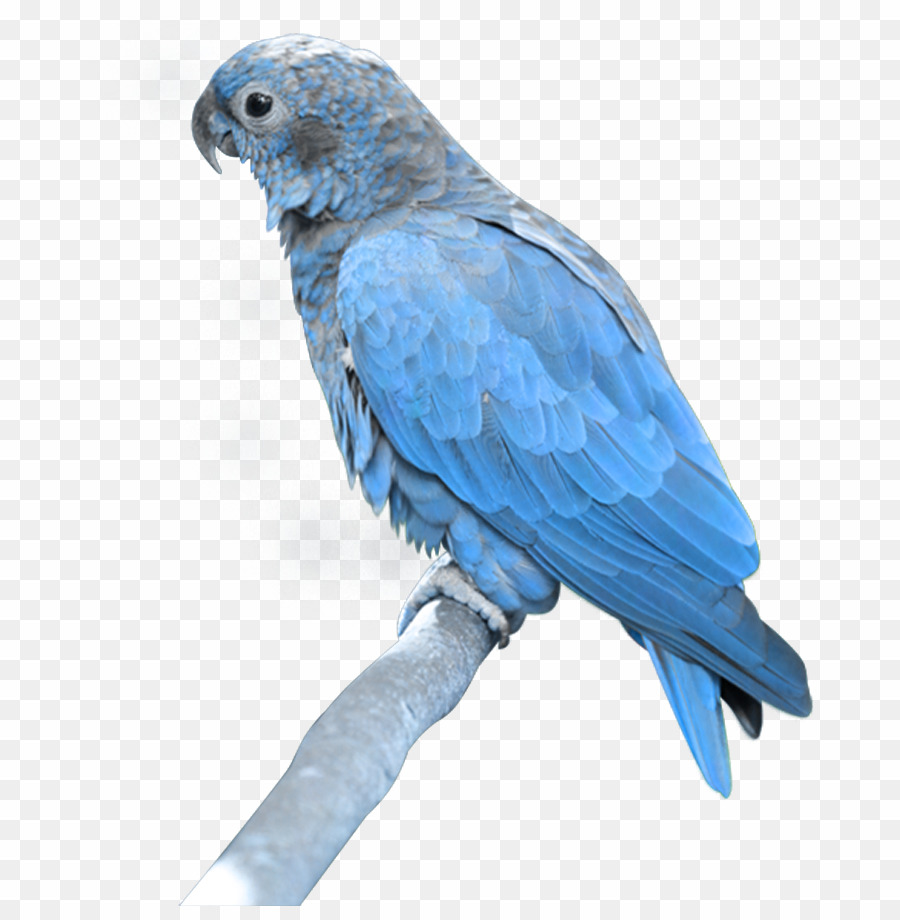 Blue parrot clipart banner free stock Light Blue Parrot PNG Bird Macaw Clipart download - 729 * 906 - Free ... banner free stock
