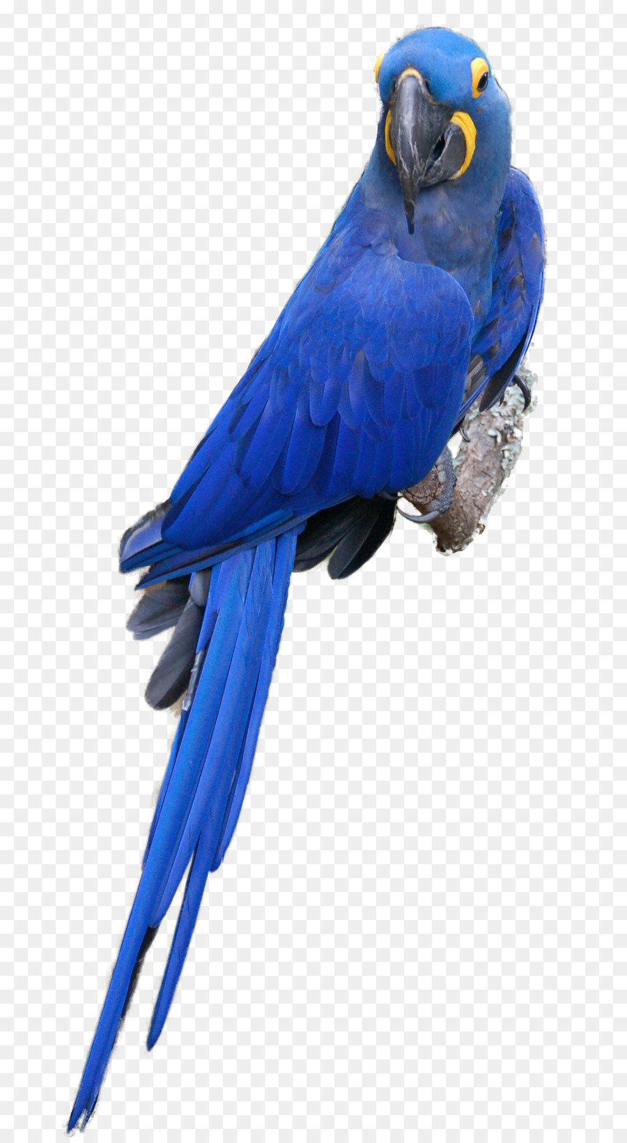 Blue parrot clipart transparent download Bird Parrot clipart - Parrot, Bird, Feather, transparent clip art transparent download