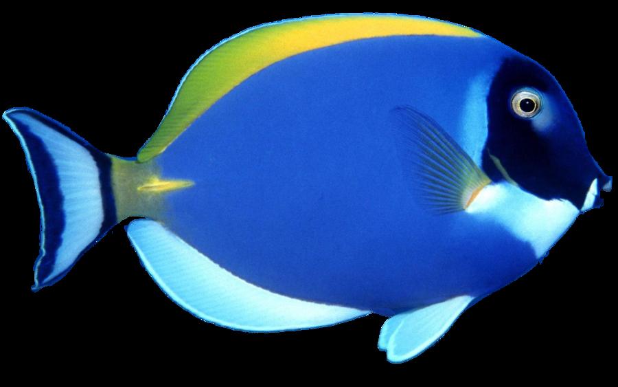 Blue tang fish clipart outline transparent download blue fish PNG image | SB - P | Pinterest | Fish and Animal transparent download