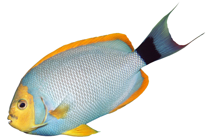 Salt water fish clipart png library library Tropical Aquarium Fish png library library