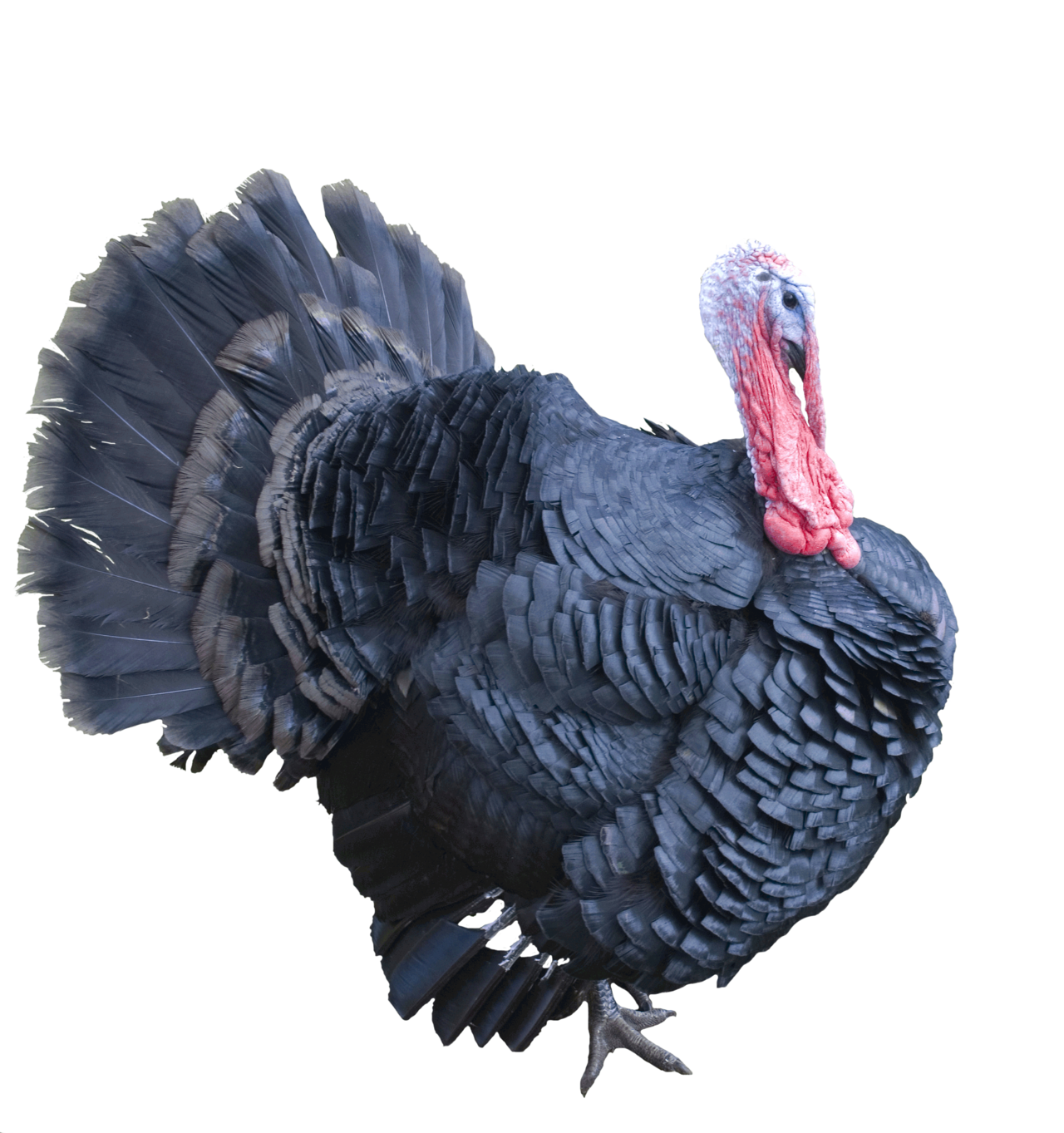 Turkey clipart side view jpg transparent stock Turkey Transparent PNG Pictures - Free Icons and PNG Backgrounds jpg transparent stock