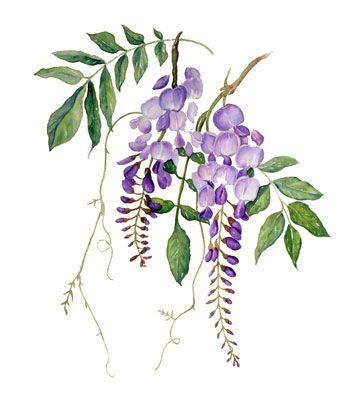 Blue wisteria clipart clipart library library Free Purple Wisteria Cliparts, Download Free Clip Art, Free Clip Art ... clipart library library