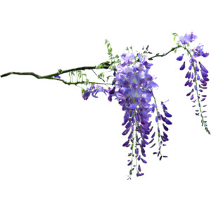 Blue wisteria clipart picture freeuse download Free Purple Wisteria Cliparts, Download Free Clip Art, Free Clip Art ... picture freeuse download