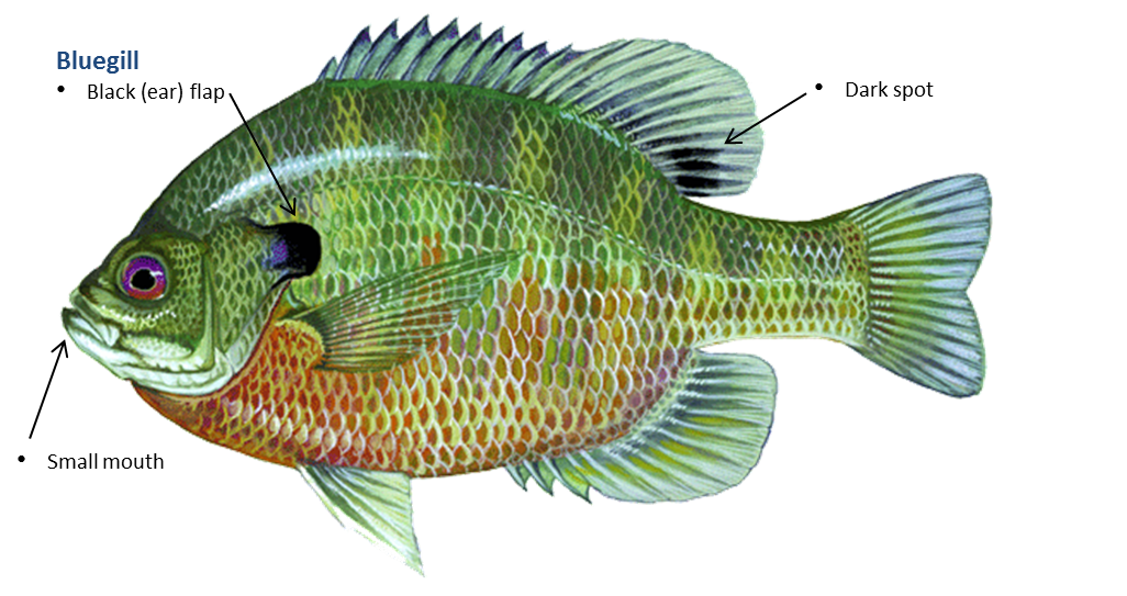 Bluegill fish clipart picture free library Bluegill Sunfish Photos >> Bluegill Fishing 101 How To Catch ... picture free library